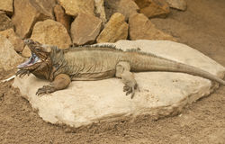 Rhinoceros iguana Royalty Free Stock Photo
