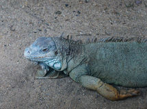 Rhinoceros iguana Stock Photography