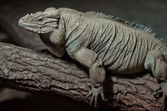 Rhinoceros iguana Cyclura cornuta Royalty Free Stock Photography