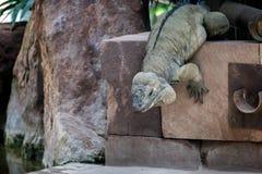 Rhinoceros Iguana (Cyclura cornuta) royalty free stock photos