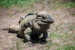 Rhinoceros Iguana (Cyclura cornuta) Stock Photography