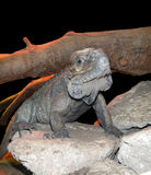 Rhinoceros iguana (Cyclura cornuta) Royalty Free Stock Image