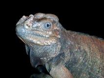 Rhinoceros iguana (Cyclura cornuta) stock photos