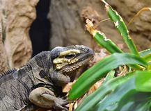 Rhinoceros iguana, Cyclura cornuta. Is a threatened species of lizard in the family Iguanidae. Zoo vienna, 7. october 2017 Stock Images