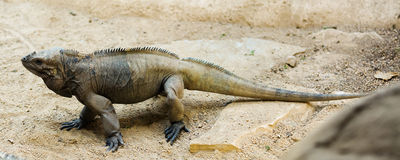 Rhinoceros iguana Royalty Free Stock Photography