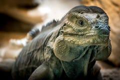 Rhinoceros iguana or Goliath Dragons (Cyclura Cornuta). Detail of the head of a Rhinoceros iguana or Goliath Dragons (Cyclura Cornuta Stock Photos