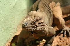 A Rhinoceros Iguana of Hispaniola Royalty Free Stock Photography