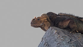Rhinoceros Iguana Lie Down on The Rock stock photography