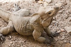Rhinoceros Iguana, lizards in the family Iguanidae Royalty Free Stock Image