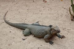 Rhinoceros iguana Royalty Free Stock Images