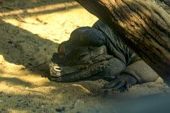 Rhinoceros Iguana, a rare wildlife species native to the Caribbean. stock photography