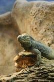 Rhinoceros iguana Stock Images