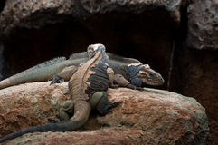 Rhinoceros iguana shedding skin Stock Photo
