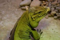 Rhinoceros Iguana Stock Image