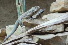 Rhinoceros iguana Stock Photo