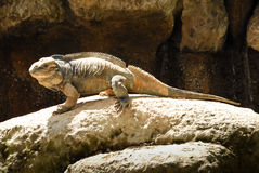 Rhinoceros Iguanas in Australia Zoo Royalty Free Stock Photo