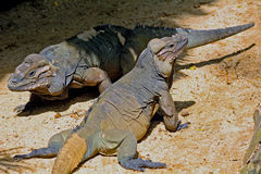 Rhinoceros iguanas (Cyclura cornuta) Stock Photos