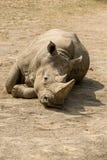 Rhinoceros II. Black Rhinoceros in ZOO 2016 Stock Images