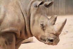 Rhinoceros impressive Stock Images