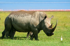Rhinoceros In The Wild Royalty Free Stock Photo