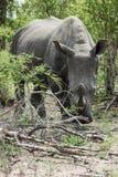 rhinoceros fotografie stock
