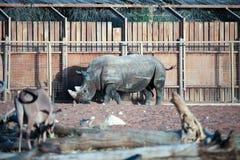 Rhinoceros inside the enclosure Stock Photo
