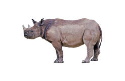Rhinoceros isolated Royalty Free Stock Photo