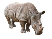 Rhinoceros isolated with clipping path Stock Photo