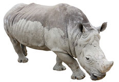 Rhinoceros isolated on white Royalty Free Stock Photo