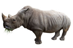 Rhinoceros isolated on white Royalty Free Stock Images