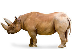 Rhinoceros isolated on white Royalty Free Stock Photos