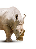 Rhinoceros isolated. The young rhinoceros isolated on white background Stock Photography