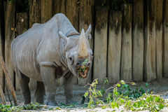 A rhinoceros with its mouth open looking at his food. The rhinoceros' mouth is open as he's looking at his food Stock Images