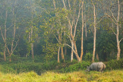 Rhinoceros in the jungle, Chitwan National Park Nepal. Royalty Free Stock Images