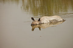 Rhinoceros swiming Stock Photography