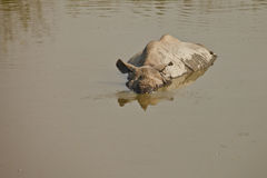 Rhinoceros swiming Royalty Free Stock Photo