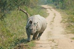 Rhinoceros attack. Rhinoceros in Kaziranga National Park Stock Photos
