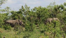 Rhinoceros in Kruger National Park Royalty Free Stock Image