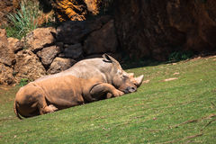 Rhinoceros, Lake Nakuru National Park, Kenya, Ceratotherium Stock Image