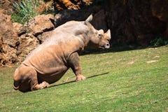 Rhinoceros, Lake Nakuru National Park, Kenya, Ceratotherium Royalty Free Stock Images