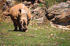 Rhinoceros, Lake Nakuru National Park, Kenya, Ceratotherium Royalty Free Stock Photos