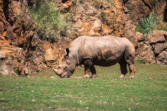 Rhinoceros, Lake Nakuru National Park, Kenya, Ceratotherium Stock Photography