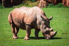 Rhinoceros, Lake Nakuru National Park, Kenya, Ceratotherium Royalty Free Stock Photo