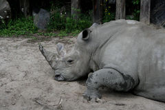 Rhinoceros. Large rhino resting in the shade from the heat stock photos