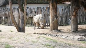 The rhinoceros latin name Ceratotherium simum simum urinates on the ground. African animal living in Kenya with big horn.