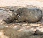 Rhinoceros lay down. Under tree shade Royalty Free Stock Images