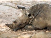 Rhinoceros lay down. Under tree shade Stock Image