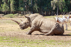 Rhinoceros lays down to the ground Royalty Free Stock Photos