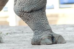 Rhinoceros leg. A close up view of a rhinoceros leg. It appears to be a strong, rough leg crashing the ground with its foot while the skin appears aged, cracked stock photo