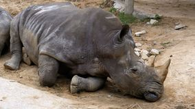 Rhinoceros lies on the ground at the Khao Kheow Open Zoo. Thailand
